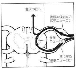 介在ニューロン.jpg