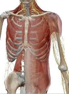 胸腹部1.jpg