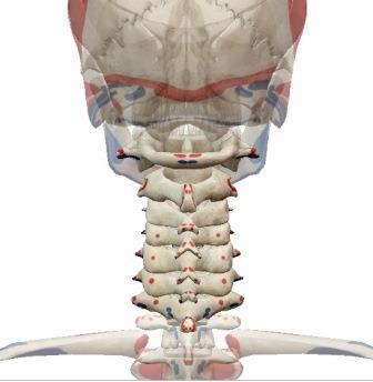 cervicle.jpg