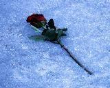 rose-1905249_960_720.jpg